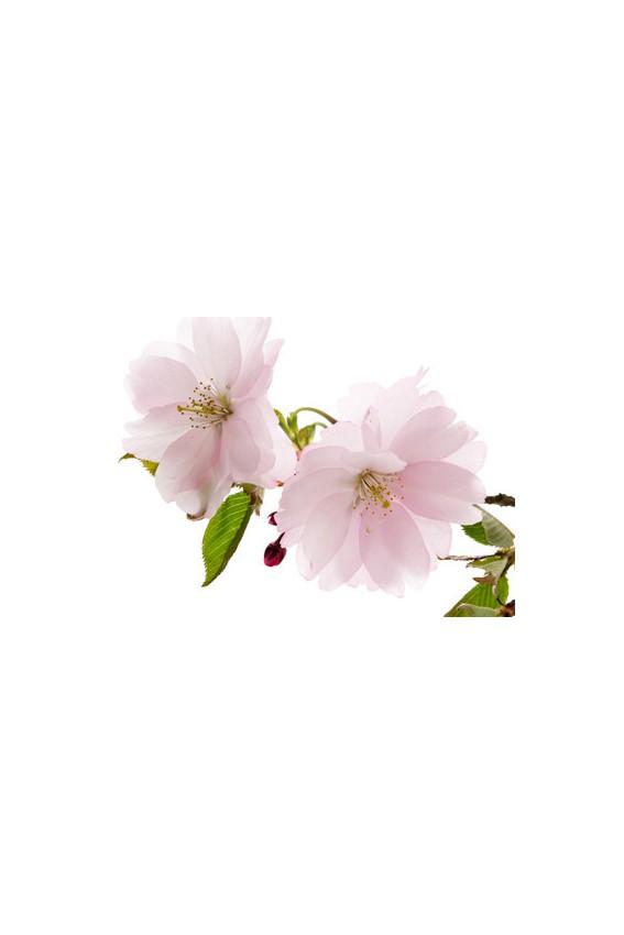 Thé vert Bancha Fleur de cerisier