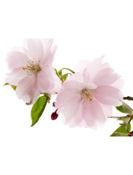 Thé vert Bancha Fleur de cerisier 75g