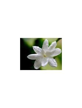 Thé vert Jasmin fleurs Bio*