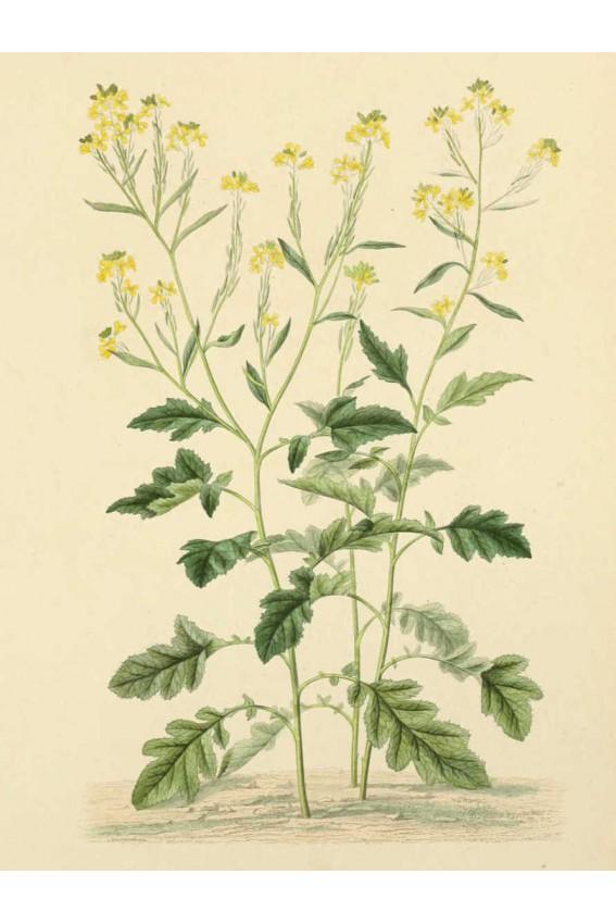 Moutarde noire graines 35g Bio*