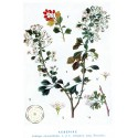 Aubépine fleurs Bio* 45g