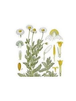 Camomille Romaine blanche 30g Bio*