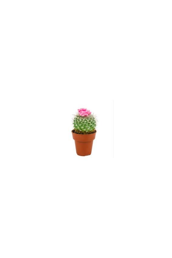 Thé vert fleur de Cactus 80g